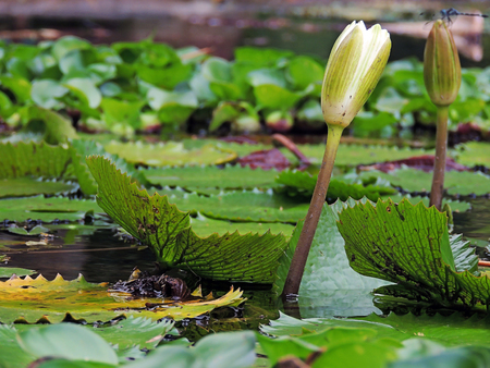 Aquatic plants, from the collection of Botanical Garden of the city of Merida. Imagens