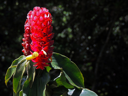 Queen of Malaysia, Tapeinochilus ananassasa