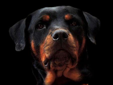 Dog Rottweiler, friend guardian