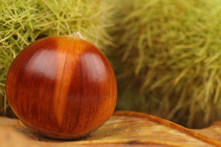 Edible chestnuts in macro Closeup Stock Photo