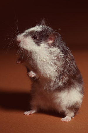 Cute hamster standing on his feet Stock Photo
