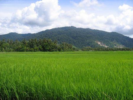 paddy field: Paddy Field in Malaysia