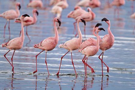 lesser: Lesser flamingos congregate by the thousands in the shallow alkaline waters of lake Nakuru in Lake Nakuru National Park, Kenya. Stock Photo