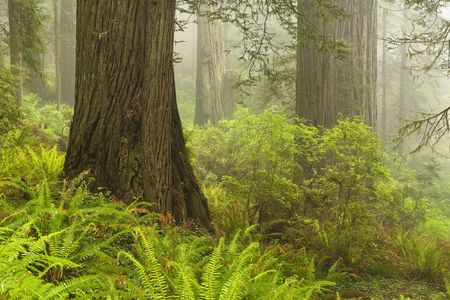 damnation: Forest along Damnation Creek Trail in Del Norte Coast Redwoods State park which is one of several parks that make up Redwoods National Park, California. Stock Photo