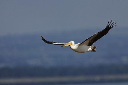 White Pelican in flight in Lake Nakuru National Park, Kenya.