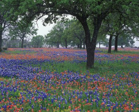 Wildflowers cover the Texas landscape filled with Texas bluebonnets and Indian paintbrush in the Hillcountry. Texas