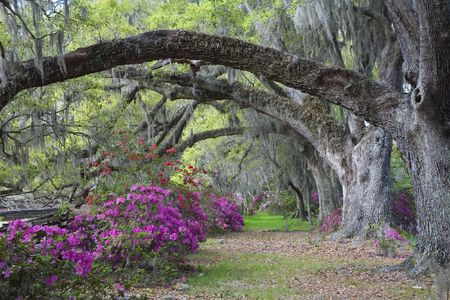 south carolina: Live Oaks and colorful azaleas on Magnolia Plantation in Charleston South Carolina. Stock Photo