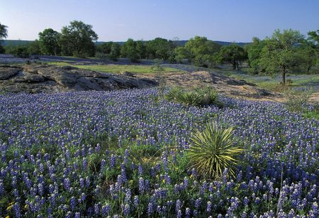 known: Meadow covered with Lupine also known as bluebonnets in the Texas Hill Country in the middle of Texas Stock Photo