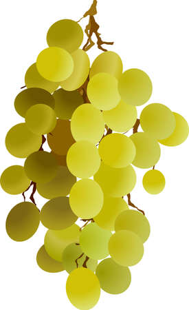grapes on vine: grapes vine berries wine Illustration