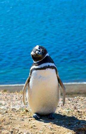 magallanes: Curious Penguin of Magallanes