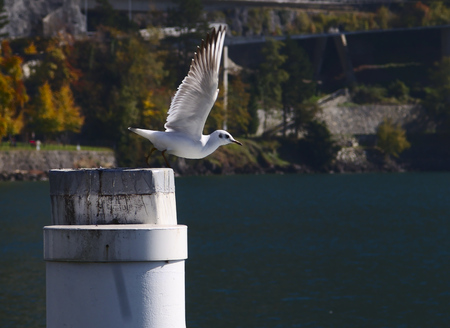 Seagull flying from a post on lake lucerne