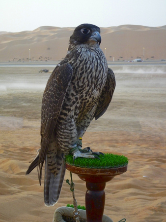 Falcon sitting on the pad in the oasis of liwa, Abu Dhabi.