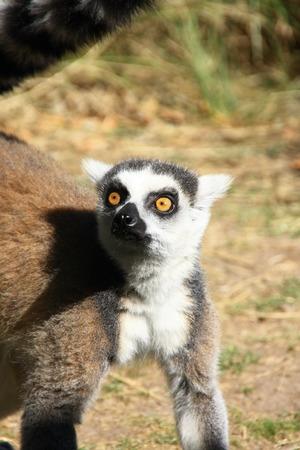 snouts: Lemur Stock Photo