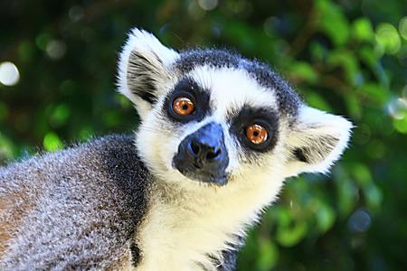 snouts: lemur
