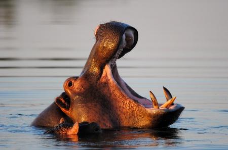 boca abierta: Hippo en presa con la boca abierta