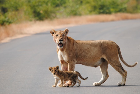 Lioness and Cub in tar road photo