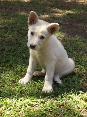 Baby White Alsation or German Sheperd Stock Photo