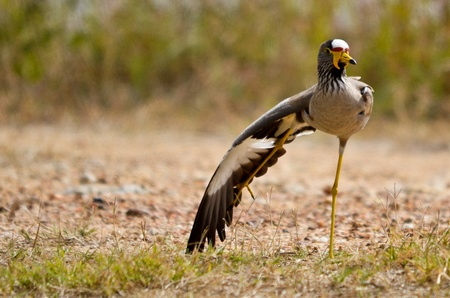 lapwing: African Wattled Lapwing
