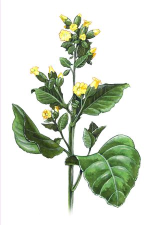 tobacco: Hand-made illustration of a tobacco plant - Nicotiana Rustica Stock Photo