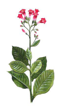 Hand-made illustratie van een tabaksplant - Nicotiana tabacum