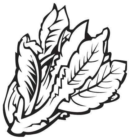 Ilustración en blanco y negro de la lechuga