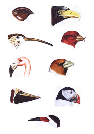 Hand painted watercolor collection of nine bird heads  From top left  European Nightjar; Eagle; Curlew; Common Crossbill; Flamingo; Hawfinch; Pelican; Atlantic Puffin; Black Skimmer