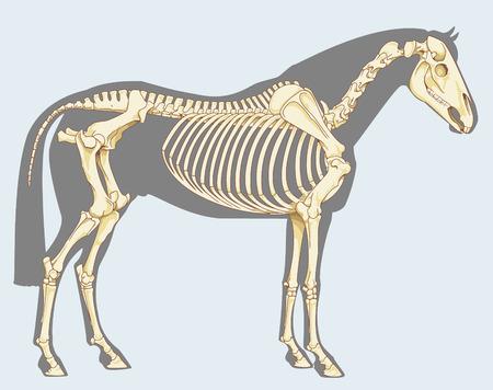 caballo: Ilustración científica: Esqueleto del caballo - aislado en el cielo azul Vectores