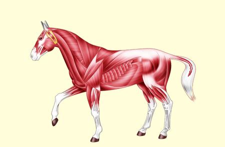 디지털 그림 : 말의 근육 노란색에 격리 된 텍스트 없음