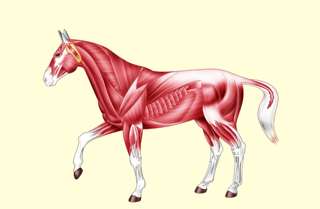 Digital illustration: muscles of the horseIsolated on yellowNo text Stock Photo