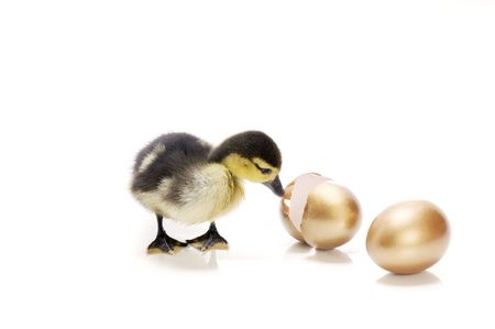 A duckling looking at a hatched egg. Heir to the goose that lay the golden eggs. Stock Photo