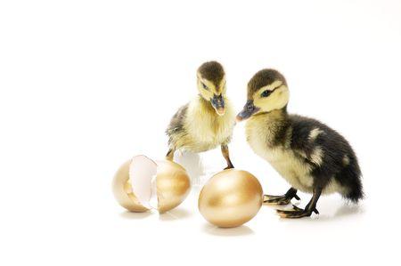huevos de oro: Anadones que miran los huevos de oro excesivos en el fondo blanco. Foto de archivo