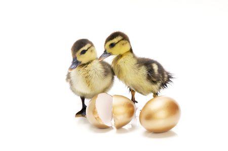 Young ducklings with golden eggs on white background. Stock Photo