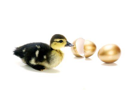 huevos de oro: Un joven pato con los huevos de oro sobre fondo blanco.