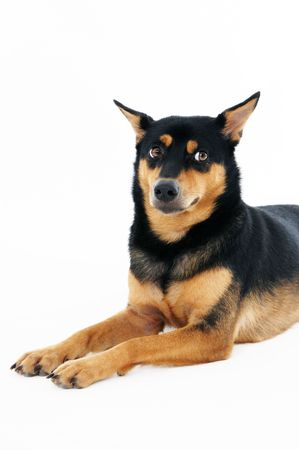 Portrait of a cute dog over white background. photo
