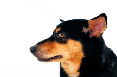 Closeup of a beautiful dog over white background. photo