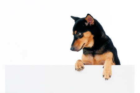 Portrait of a beautiful dog above blank billboard over white background. Stock Photo