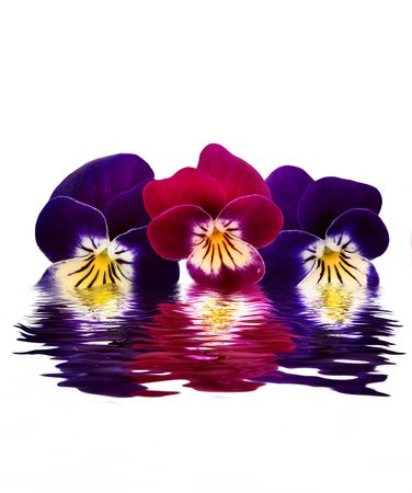 Beautiful violets over water.  Stock Photo