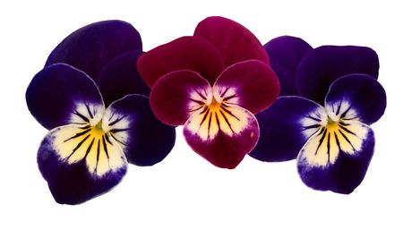 3 isolated pansy heads Stock Photo