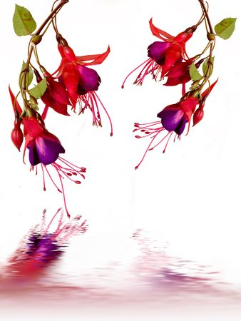 Fuschias with reflections