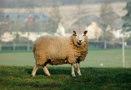 A lone sheep standing in a field