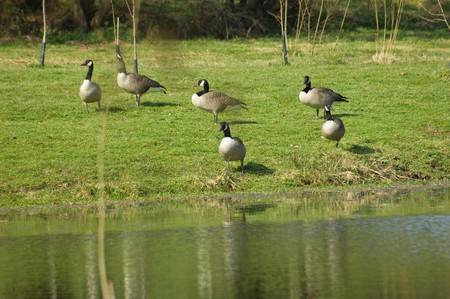 A small Gaggle of Canadian geese (Branta canadensis) beside a lake