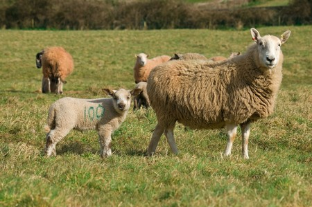 A spring lamb standing behind its mother, both looking forward, in a field of lush green grass. Stock Photo - 4556226