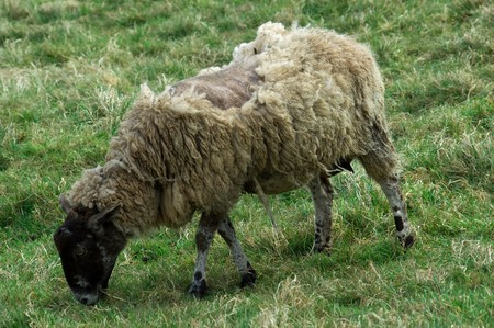 a scruffy looking ill sheep grazing in a field of lush green grass.