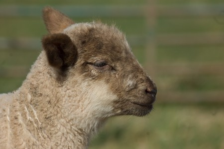 a close up of a cute wolley spring lambs head,face and neck.