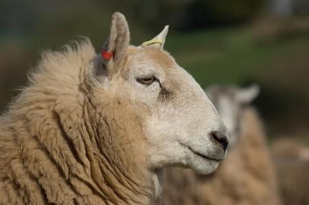 A close up shot of a Shetland-Cheviot sheeps head,neck and face. Stock Photo