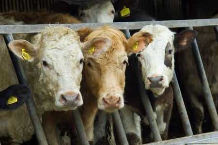 a herd of young mixed varitey cow poking thier heads through the railings of a cattle feeder.