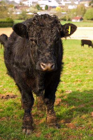 a dirty young black bull standing in a lush green fresh field of grass. Stock Photo