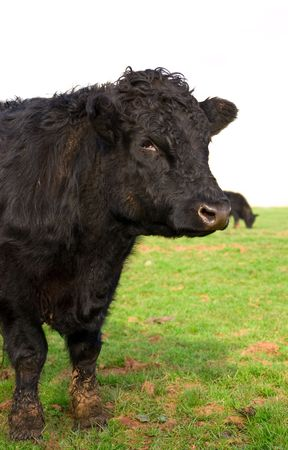 a young black bull portrait, standing in a field of lush fresh green grass. Stock Photo