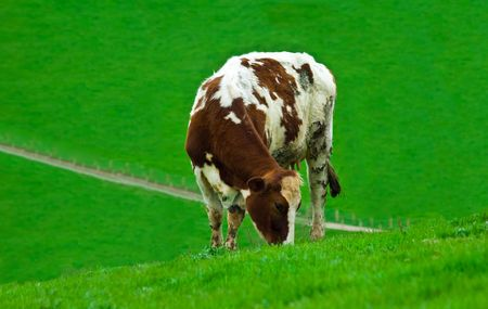 a female cow grazing alone in a field of lush green fresh grass