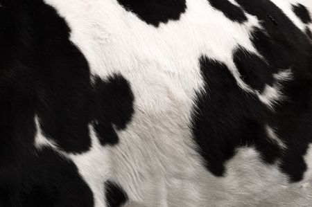an image of real black and white cow hide.